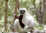 Coquerels sifaka (propithecus coquereli) climbing tree, Antananarivo, Madagascar - ISF06474