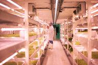 Worker tending micro greens in underground tunnel nursery, London, UK - CUF18925
