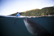 A huge Whaleshark (Rhincodon typus) swimming underneath a boat, Moalboal, Cebu, Philippines - CUF19284