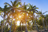 Sunlit forest of palm trees on beach, Dominican Republic, The Caribbean - CUF19750