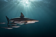 Oceanic Blacktip Shark (Carcharhinus Limbatus) swimming near surface of ocean, Aliwal Shoal, South Africa - CUF20189