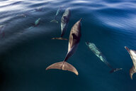 Pod of Pantropical Dolphins breaching for air, Port St. Johns, South Africa - CUF20207
