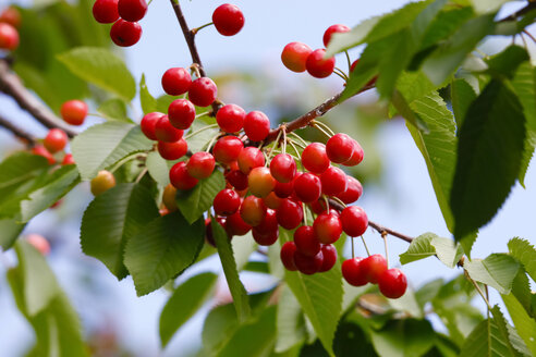 Sweet cherries on tree - JTF01004