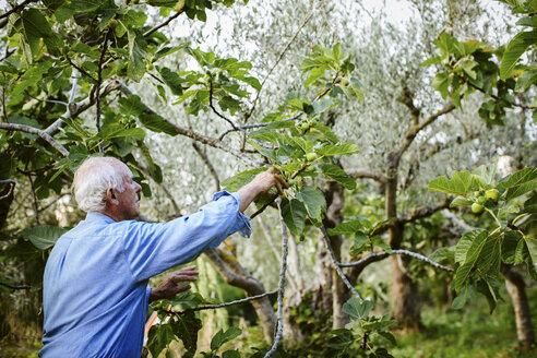 Senior man traditionally harvesting green figs, Italy - CUF20238
