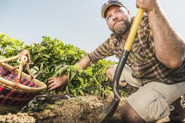 Bearded man holding spade kneeling in vegetable garden harvesting fresh vegetables - CUF20295