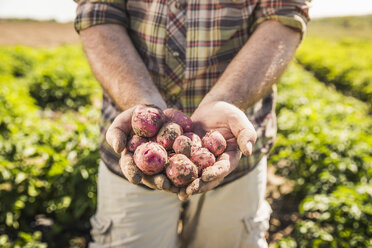 Mans mid section holding freshly harvested potatoes in hands - CUF20298