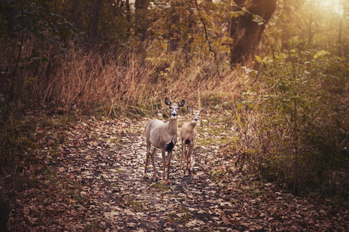 Portrait of mother deer and fawn in autumn forest, Cherry Valley, Illinois, USA - ISF07739
