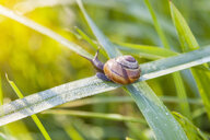 Close up of snail on blade of green grass - CUF22038