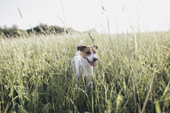 Jack Russel Terrier on a meadow - KMKF00260