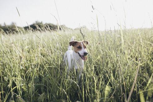 Jack Russel Terrier on a meadow - KMKF00260