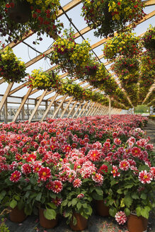Commercial greenhouse with yellow and red flowers in hanging baskets and red and white Dahlias in containers - ISF08071