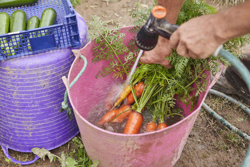 Cropped view of man rinsing freshly harvested carrots in trug - CUF22617