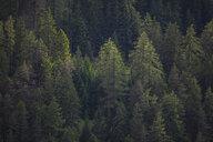 Switzerland, Grisons, Samnaun, coniferous forest - MMAF00365