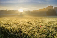 Germany, Bavaria, Swabia, Tussenhausen, Grain field and morning fog at sunrise, Augsburg Western Woods Nature Park - SIEF07788