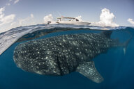 Large whale shark (Rhincodon typus) passing below boat at sea surface, Isla Mujeres, Mexico - ISF08888
