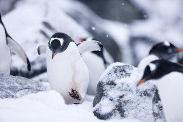 Antarctic, Antarctic Peninsula, Gentoo penguins, Pygoscelis papua - CVF00686