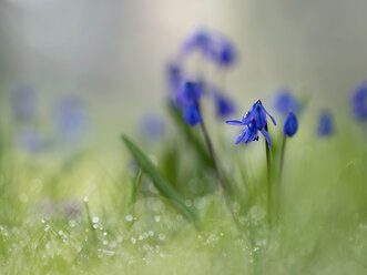 Squill - BSTF00122