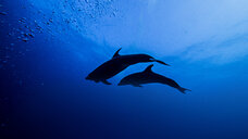 Low angle silhouette of bottle nose dolphins - ISF09051