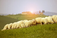 Herd of sheep grazing on field, Val d'Orcia, Siena, Tuscany, Italy - CUF23142