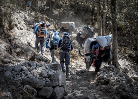 Nepal, Solo Khumbu, Everest, Sagamartha National Park, Mountaineers walking on dirt track with yaks - ALRF01255