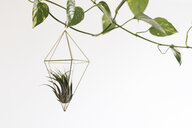 Air plant in a pendant - AFVF00619