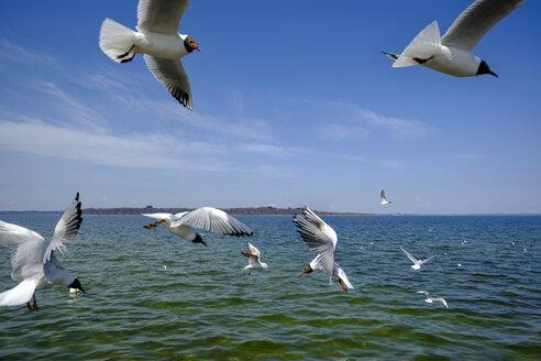 Germany, Bavaria, Upper Bavaria, chiemgau, Chiemsee with Fraueninsel, flying seagulls - LBF01948