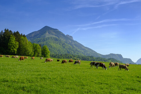 Germany, Bavaria, Upper Bavaria, Chiemgau, Achen Valley, Hochplatte, cows on meadow near Schleching - LBF01957