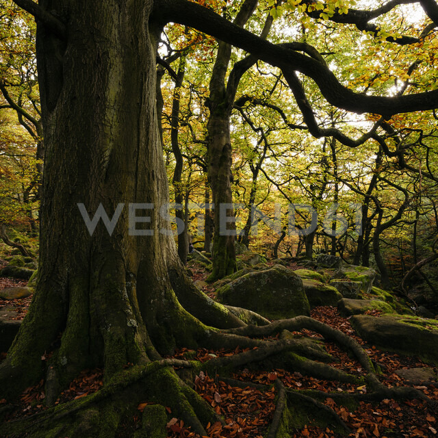 Large tree with exposed roots, Padley Gorge, Peak District, Derbyshire, England, UK - CUF24670 - Ben Pipe Photography/Westend61