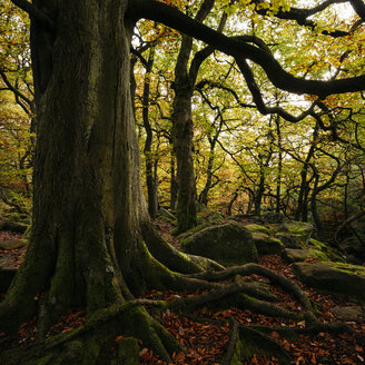 Large tree with exposed roots, Padley Gorge, Peak District, Derbyshire, England, UK - CUF24670