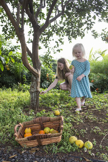 Young woman and toddler daughter harvesting fresh oranges in garden - CUF26633