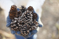 Hands of mature woman holding pine cones in forest - CUF26684