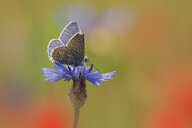 Common blue butterfly, Polyommatus icarus, perching on cornflower - BSTF00129