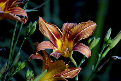 Lilies - JTF01007
