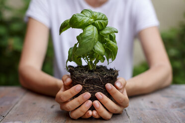 Cropped view of hands holding basil plant - CUF28219