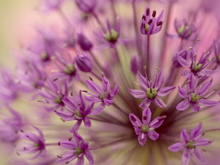 Great lilac-purple spherical allium, Allium hollandicum - BSTF00133