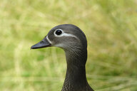 Portrait of mandarin duck, female - JTF01016