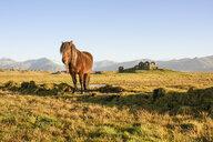 Icelandic horse, Hofn, Iceland - CUF28858