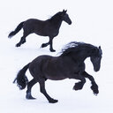 Frisian horses in winter - TCF05479