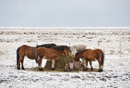 Icelandic horses feeding in snow covered field, Iceland - CUF30475