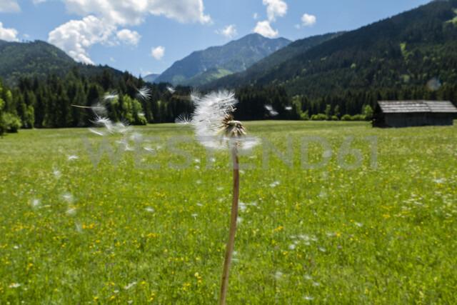 Austria, Carinthia, blowball - EJWF00884