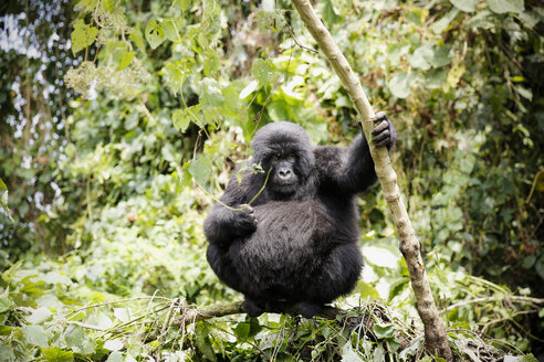 Africa, Democratic Republic of Congo, Mountain gorilla in jungle - REAF00286