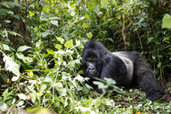 Africa, Democratic Republic of Congo, Mountain gorilla, silverback in jungle - REAF00289