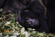 Africa, Democratic Republic of Congo, Mountain gorilla, silverback in jungle - REAF00292
