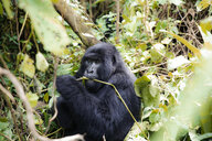 Africa, Democratic Republic of Congo, Mountain gorilla in jungle - REAF00295