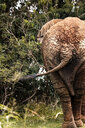 Uganda, African elephant, rear view - REAF00313