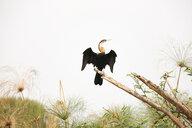 Uganda, Kigezi National Park, African darter perching on branch - REAF00319