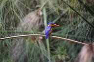 Uganda, Lake Victoria, Azure kingfisher perching on branch - REAF00325