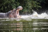 Uganda, Lake Victoria, Hippopotamus in lake with open mouth - REAF00328