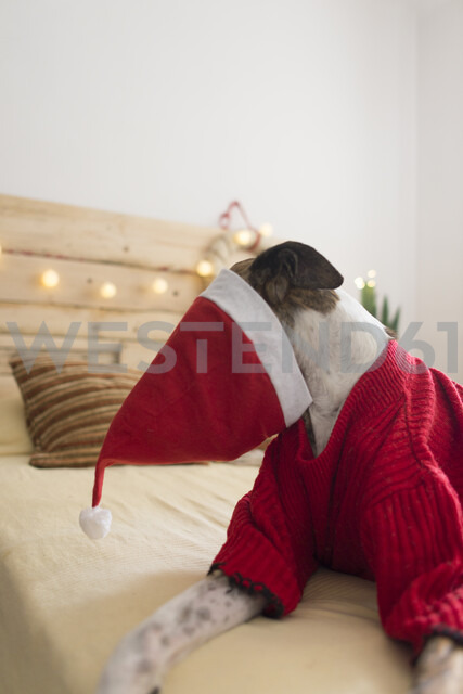 Greyhound with Santa hat lying on bed wearing red pullover - SKCF00509