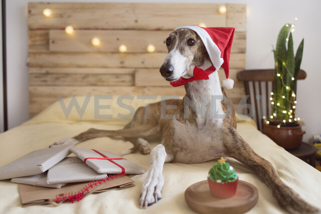 Portrait of Greyhound wearing Santa hat lying on bed with Christmas presents - SKCF00512